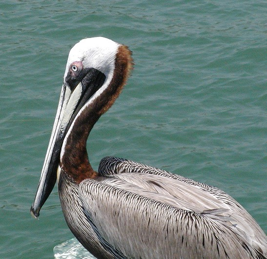 The biggest danger to this pelican is man.